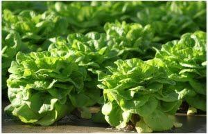 zelena salata za zdravlje