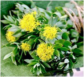 biljka rodiola kao lek