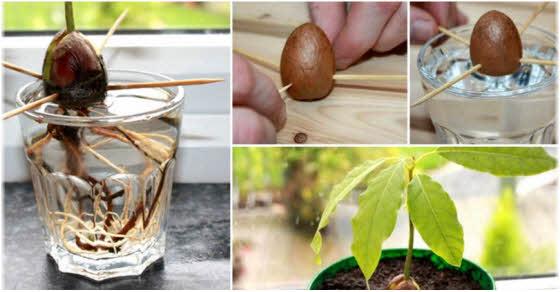 kako gajiti avokado