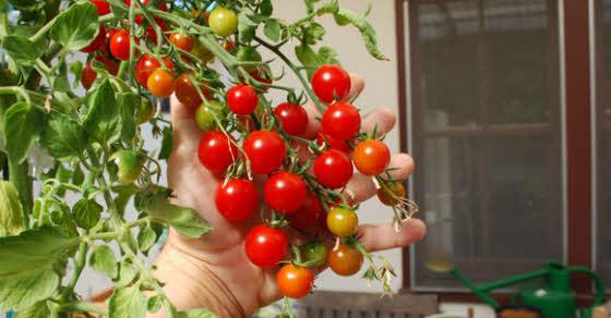 uzgajanje cherry paradajzića