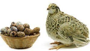 prepeličja jaja doziranje u ishrani