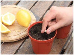 gajenje limuna u saksiji metoda