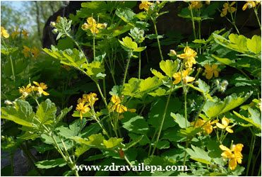 biljka rosopas lekovita svojstva