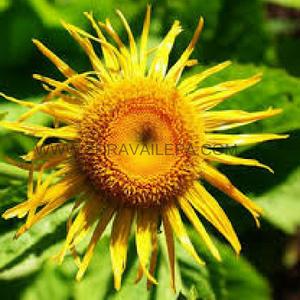 oman cvet koristi se da bi sekuvao lekoviti čaj koji ima izvanredna diuretička svojstva