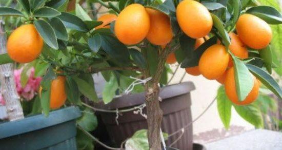 kumkvat voće uzgoj u Srbiji