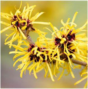 biljka hamamelis u prirodi
